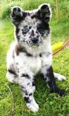 fluffy dog with white and black markings and different colored eyes dogs 28 Doggos With Beautiful And Unique Markings That Will Mesmerize You Cute Dogs And Puppies, Baby Dogs, Puppies Tips, Doggies, Cavapoo Puppies, Funny Puppies, Mini Dogs, Rottweiler Puppies, Baby Puppies