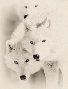 Ghost Wolves (via twitter, Animal Life)