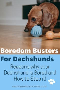 Doxies rely on You for Attention. Bored Dachshunds are Destructive Dachshunds. Let's learn the 7 Signs Your Dachshund is Bored and How to Stop it before it gets out of hand. Dachshund Facts, Dapple Dachshund, Mini Dachshund, Weenie Dogs, Dachshund Puppies, Corgi Dog, Daschund, Chihuahua Dogs, Pet Dogs