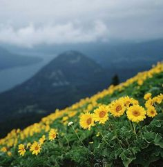 a little warmth in our lives (by manyfires) Quiet Storm, Columbia River Gorge, Yellow Daisies, Our Life, Flower Power, Fields, Beautiful Flowers, Garden Design, Summertime