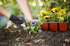 hands-planting-flowers-in-garden.jpg (1698×1131)