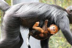 best images about Primates Old World Dusky Langur Dusky Leaf