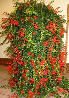 Columnea 'Cascading Beauty'