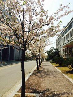 에리카캠퍼스의 벚꽃