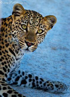 Leopard by Peter Winnan, via 500px