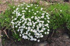 FLORA DE MISIONES  Argentina: Nierembergia linariaefolia Graham var. linariaefol...
