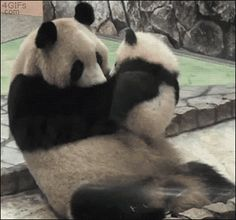 Panda kisses.    gif
