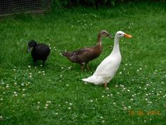 Indian runner ducks Loopeenden