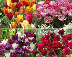 Vibrant tulip blends Give your garden a real makeover next spring with these four sophisticated Tulip blends. They will flower in unison in April and May to create an impressive display. Garden Shop, Tulips, Vibrant, Display, Create, Spring, Flowers, Plants, Floor Space