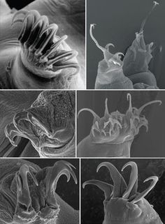 Six images of distinct tardigrade claws.