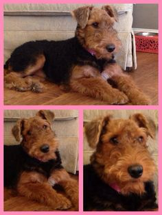 My Sweet Tallulah, Airedale Terrier, 6 months old.