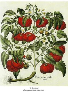 "Basilius Besler : ""Tomatoes"" (Hortus Eystettensis, 1613) — Fine Art Print"