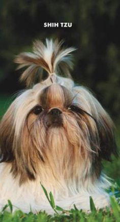 Shih Tzu. I want one !
