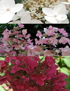 hydrangea paniculata wim 39 s red plant in 9cm pot hydrangea paniculata hydrangea and plants. Black Bedroom Furniture Sets. Home Design Ideas