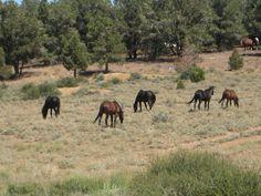 Wild Mustangs, Virginia City, Nevada