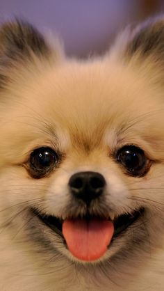 Pomeranians have the most adorable faces!!!                                                                                                                                                                                 More
