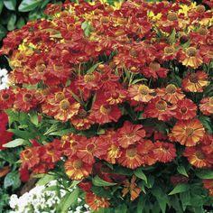 Helenium Plant - Moerheim Beauty - Suttons Seeds and Plants