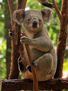 27 Cute and Cuddly Koala Photography