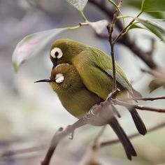 asian white eyes        (photo by carolyn johnson)   birds of a feather