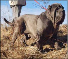Neapolitan Mastiff.....<3