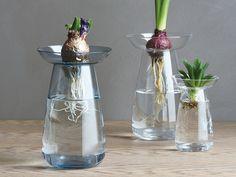 ヒヤシンスやアボカドの水栽培にKINTO発AQUA CULTURE VASEが新発売