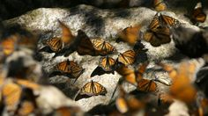 Each year, the migratory monarch butterfly embarks on an extraordinary journey from eastern North America to central Mexico. A multidisciplinary team of scientists has now created a model circuit that finally explains how these insects are able to navigate across such vast distances.