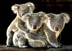 koala.koala.koala.