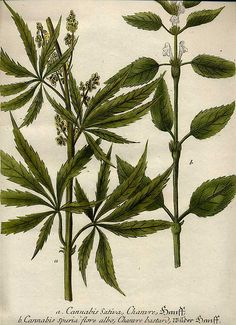 The controversial issues of cannabis sativa or marijuana