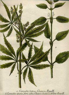 Erowid Plants Vaults : Images : cannabis sativa
