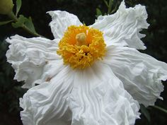 Romneya coulteri, a California native Poppy