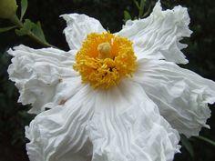 Romneya coulteri, a California native Poppy