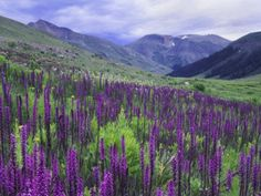 Wildflowers in Alpine Meadow, Ouray, San Juan Mountains, Rocky Mountains, Colorado by Rolf Nussbaumer