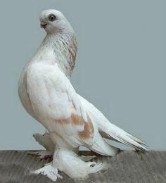 Berlin Short Faced Muffed Tumbler Pigeon | cream bar