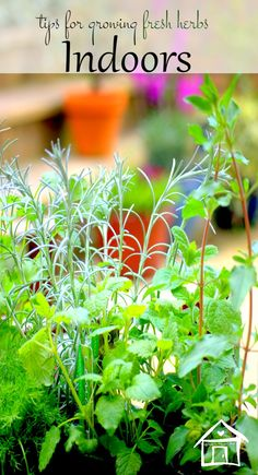 6 Tips To Successfully Growing Fresh Herbs Indoors - Container Gardening, Gardening Tips, Urban Gardening, Growing Herbs Indoors, Growing Plants, Mint Plants, Indoor Plants, Indoor Garden, Herb Plants