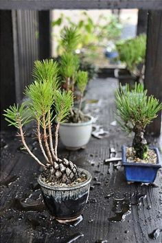 Nästan Bonsai, Gro kottar… – My Home Decoration Indoor Garden, Indoor Plants, Outdoor Gardens, Bonsai Garden, Garden Plants, Garden Mulch, Bonsai Plants, Garden Sheds, Garden Tools