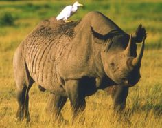My totem is the cattle egret. It's not sexy, so what. This one on the back of a rhino is just cool.