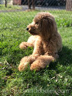 Crockett Doodles - Family Raised Doodle Puppies for Sale Apricot Goldendoodle, Standard Goldendoodle, Goldendoodle Haircuts, Goldendoodle Puppy For Sale, Labradoodle, Goldendoodles, Cool Doodles, Puppies For Sale, More Pictures