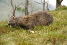 Wombats   by Raymond Barlow