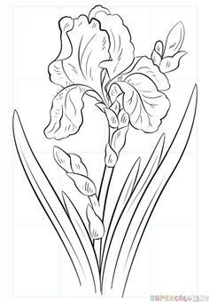 How to draw an iris flower step by step. Drawing tutorials for kids and beginner. - Garden Style - How to draw an iris flower step by step. Iris Drawing, Plant Drawing, Drawing Sketches, Cool Drawings, Pencil Drawings, Drawing Flowers, Flower Drawings, Colour Drawing, Pretty Drawings