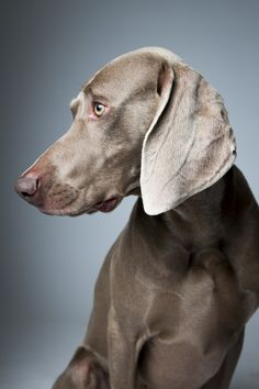 Max, a Weimaraner, the day before the hundred-and-thirty-seventh Westminster Kennel Club Dog Show. Portraits from Westminster Dog Show : The New Yorker Westminster Dog Show, I Love Dogs, Cute Dogs, Fun Dog, Weimaraner Puppies, Corgi Puppies, Puppy Pictures, Dog Portraits, Beautiful Dogs