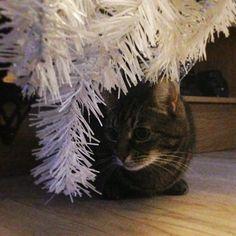 Pus under juletreet #christmascat #christmastree #pusi