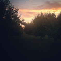 Peach trees at the Farm at #Agritopa in #GilbertAZ.