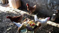 Aspectos fundamentales en el cuidado y mantenimiento de una gallina, por Jonay Hernández (Grupo K) Videos, Group, Get Well Soon