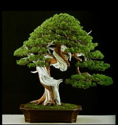 Bonsai Bark | Promoting and Expanding the Bonsai Universe | Page 72