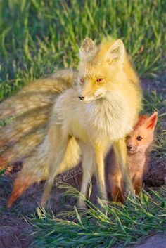 If pokemon where real... Ninetails and Vulpix has always been amongst my favorites - sooo cute! :3