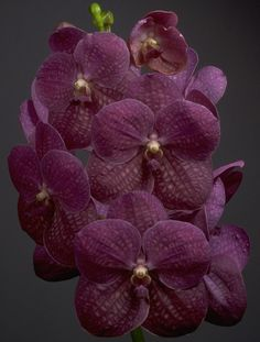 A collection of photos of awarded and exemplar Motes Orchids orchids. Orchid Varieties, Vanda Orchids, Mood Indigo, Purple Rain, Special Gifts, German, Purple Garden, Pretty Shoes, Plum