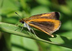Ancyloxypha numitor (Hesperiidae) 08/11, Dunn Co.