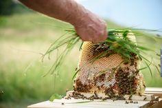la dolcezza dell'erba per far allontanare le api dal favo dell'arnia Top Bar
