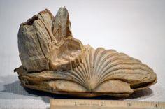 Twitter / NaturalHistoria: A Fossil Scallop from Calvert ...