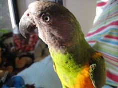 34 Stunning Pictures Of Exotic Birds Rare Birds, Exotic Birds, Most Beautiful Animals, Beautiful Birds, Small Birds, Pet Birds, Albino Peacock, Pink Cockatoo, Exotic Beauties